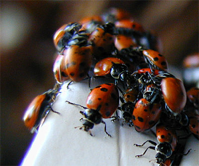 LADYBUGS - THE HIDDEN HORROR
